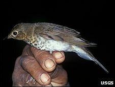 Swainson's thrush (Image: Jose Loaiza/USGS)