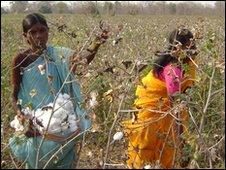 Cotton harvesting in Vidarbha
