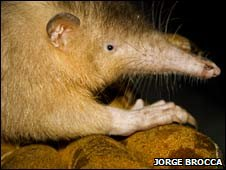 Solenodon on glove (Jorge Brocca)