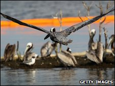 Brown pelicans sit behind an oil boom surrounding their island in Barataria Bay, Louisiana, 24 May 2010