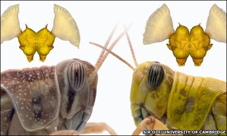 Solitarious (left) and gregarious locusts