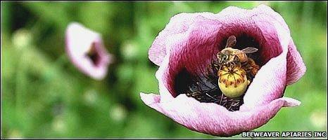 Bees, BeeWeaver Apiaries Inc