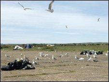 Seagulls at the site of the illegal rave at Dale, Pembrokeshire