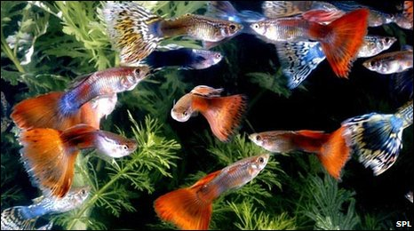 Guppies (SPL)