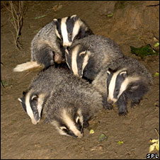 Badger cubs playing