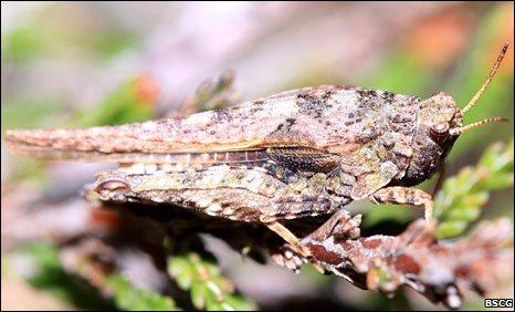 Slender groundhopper. Pic: BSCG