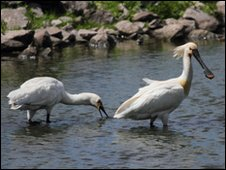 Spoonbills at Martin Mere in Lancashire