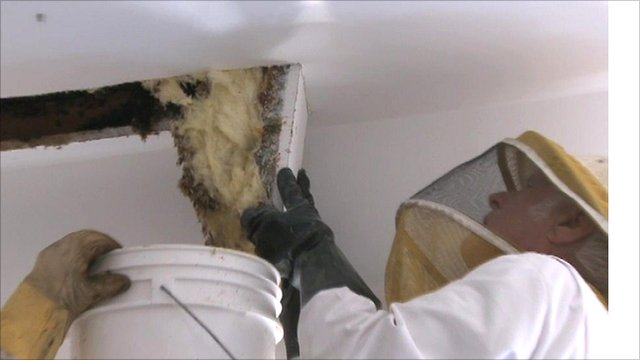 Beekeeper removing bees