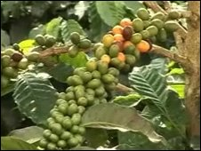 Coffee plants in Merida state, Venezuela