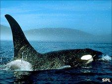 Killer whale (SPL)