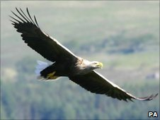 Sea Eagle in flight - Iain Erskine/RSPB Scotland