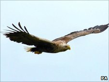 Sea Eagle in flight. Photo: Iain Erskine/RSPB Scotland