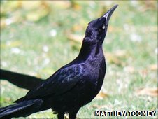 Male great -tailed grackle