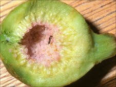 A female fig wasp emerging from her gall inside a fig - photo by Simon van Noort, Iziko Museums of Cape Town
