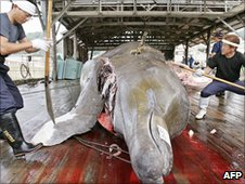 Japanese fishermen with a 10m-long bottlenose whale at the Wada port