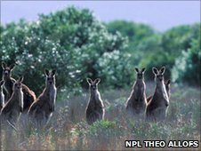 Grey kangaroo herd in meadow