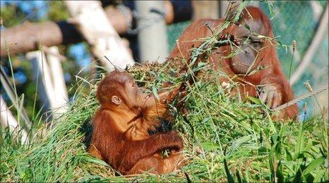 Orangutans at Durrell in Jersey