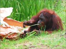 Orangutans at Durrell