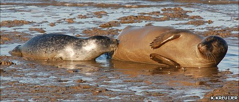 Harbour seal and pup (Image: K.Kreuijer)