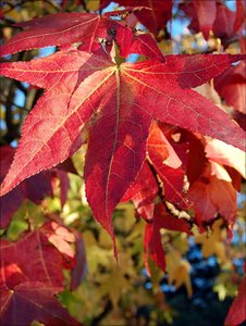 Sweet gum leaves (Image: BBC)