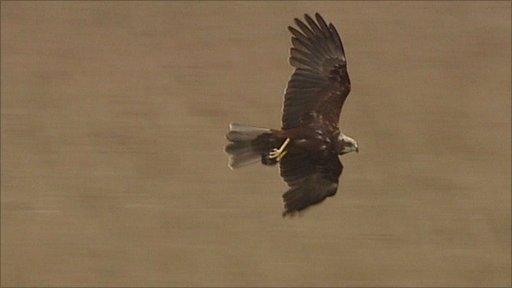 Marsh harrier in flight at Langford Lowfields nature reserve, Nottinghamshire
