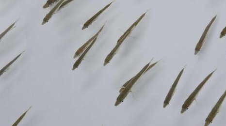 Shoal of three-spined sticklebacks