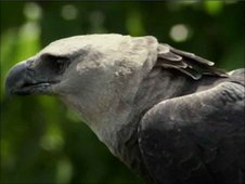 Adult Harpy eagle