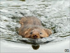 A water vole swims off after release at Hempsted near Gloucester (Photo: Barry Batchelor/PA Wire)
