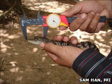 FFI crocodile handler measuring hatchling