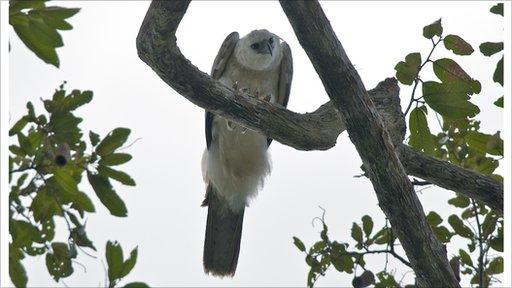Juvenile harpy eagle