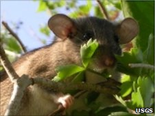 Key Largo woodrat (copyright US Geological Survey)