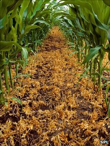 GM corn (Image: Science Photo Library)