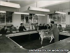 Cow in a classroom