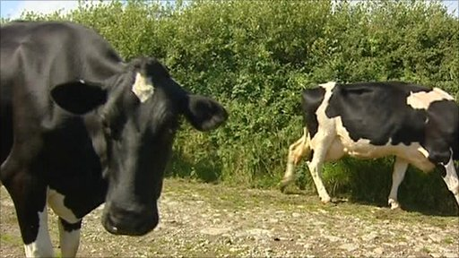 Friesian cows