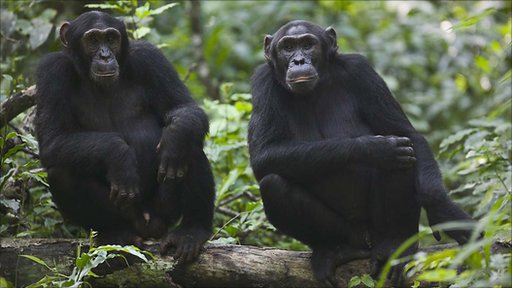 Common chimpanzees (copyright Florian Moellers, Sonso)