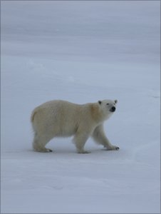 A polar bear (Image: Gregory/SAMS)