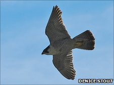 Peregrine falcon gliding through the air