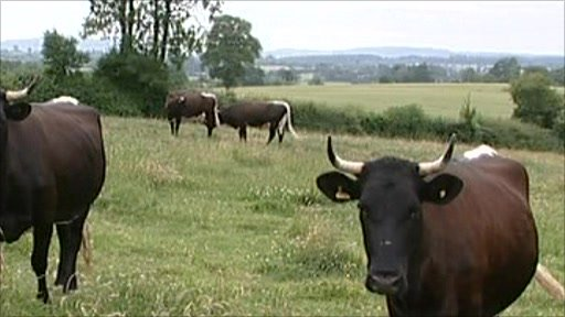 Gloucester cows in a field