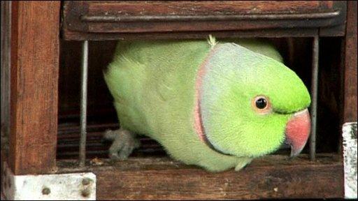 Mani the parakeet