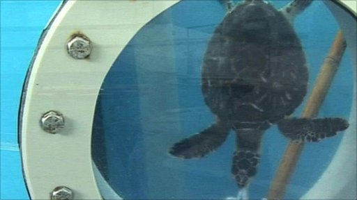 Turtle in a rehabilitation tank