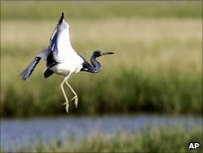 Blue heron flies over marshland
