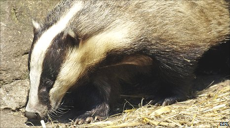 European Badger (Image: Science Photo Library)