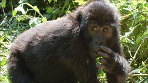 Gorilla (Elke Zimmermann)