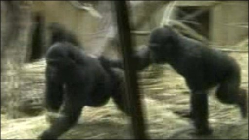 Gorillas 'playing tag'