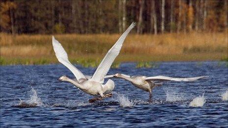 Swans on Rakov Lakes (V Shishenkov)