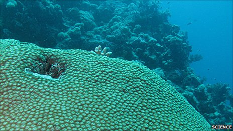 Diploastrea heliopora species of coral (Image: Science/AAAS)