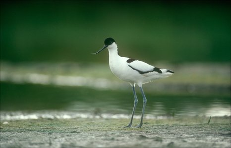 Avocet bird