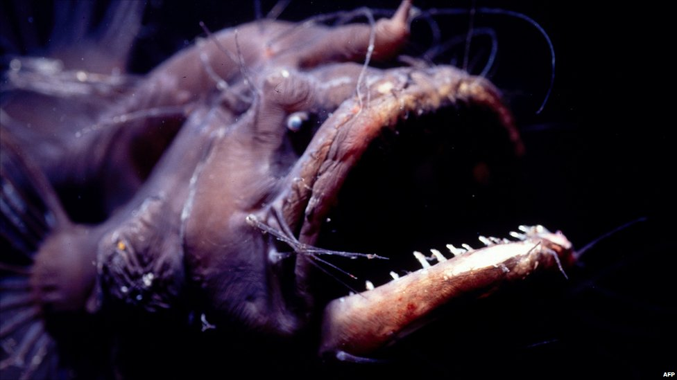 Bbc news in pictures unusual sea creatures found on for Deep ocean fish