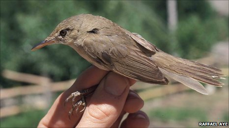 Bbc Earth News Lost Large Billed Reed Warbler Breeding Site Found