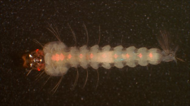 Genetically engineered mosquito larva (Image: Michael Riehle, University if Arizona)